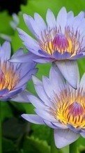 New 320x480 mobile wallpapers Plants, Flowers, Water lilies free download.