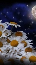 New mobile wallpapers - free download. Flowers,Moon,Plants,Camomile picture and image for mobile phones.