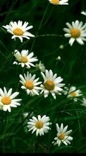 Free mobile wallpaper Flowers,Plants,Camomile