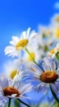 Flowers,Plants,Camomile