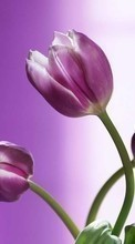 New 240x400 mobile wallpapers Plants, Flowers, Tulips free download.