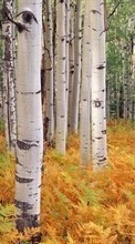 New 360x640 mobile wallpapers Landscape, Trees, Autumn, Birches free download.