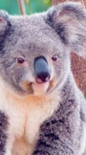 New 320x480 mobile wallpapers Animals, Koalas free download.