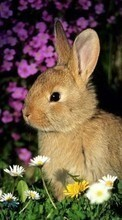 New 240x320 mobile wallpapers Animals, Rabbits free download.