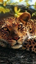 New 1024x768 mobile wallpapers Leopards, Animals free download.