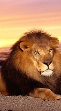 New 240x400 mobile wallpapers Animals, Lions free download.