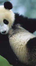 New 360x640 mobile wallpapers Animals, Bears, Pandas free download.