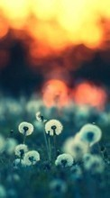 New mobile wallpapers - free download. Dandelions,Landscape,Plants picture and image for mobile phones.