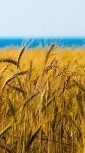 New 800x480 mobile wallpapers Landscape, Fields, Wheat free download.