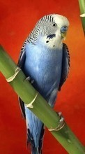 New 320x480 mobile wallpapers Animals, Birds, Parrots free download.