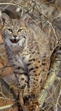 New 240x320 mobile wallpapers Animals, Bobcats free download.