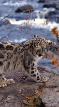 New 540x960 mobile wallpapers Animals, Snow leopard free download.