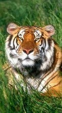 New 320x480 mobile wallpapers Animals, Grass, Tigers free download.