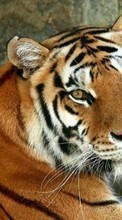 New mobile wallpapers - free download. Tigers,Animals picture and image for mobile phones.