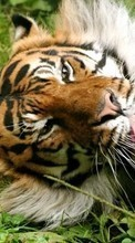 New 320x480 mobile wallpapers Animals, Tigers free download.