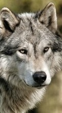New 1024x768 mobile wallpapers Wolfs, Animals free download.