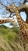 New mobile wallpapers - free download. Giraffes,Animals picture and image for mobile phones.