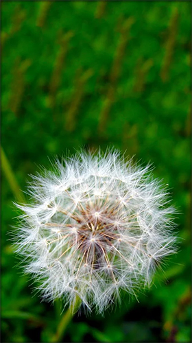 Download Dandelion by Live Wallpaper HD 3D free Plants livewallpaper for Android phone and tablet.