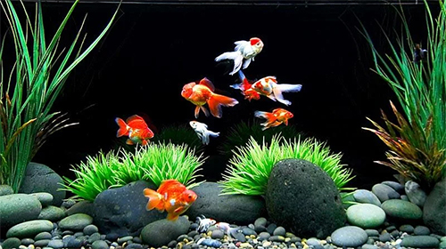 Download Goldfish free Aquariums livewallpaper for Android phone and tablet.