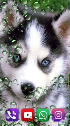 Download Husky by SweetMood free Animals livewallpaper for Android phone and tablet.