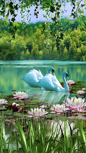 Download Swans and lilies free Plants livewallpaper for Android phone and tablet.