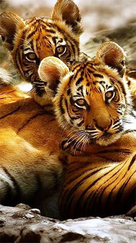 Download Tiger by Jango LWP Studio free Animals livewallpaper for Android phone and tablet.