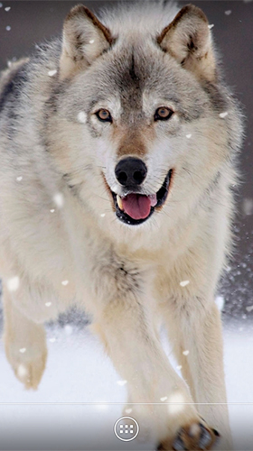 Download Wolf by orchid free Interactive livewallpaper for Android phone and tablet.