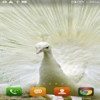 Download live wallpaper Queen peacock for free and Dubai HD by Forever WallPapers for Android phones and tablets .