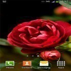 Download live wallpaper Roses by Cute Live Wallpapers And Backgrounds for free and Rose: Raindrop for Android phones and tablets .