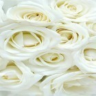 White rose by HQ Awesome Live Wallpaper apk - download free live wallpapers for Android phones and tablets.