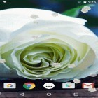 Download live wallpaper White rose for free and Sakura pro for Android phones and tablets .